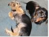 slideshow-dachshunds-0087