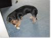 slideshow-dachshunds-0098