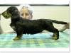 slideshow-dachshunds-01